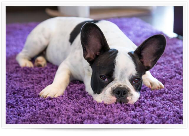 carpet pet urine removal