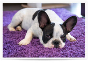 pet urine removal carpet cleaning